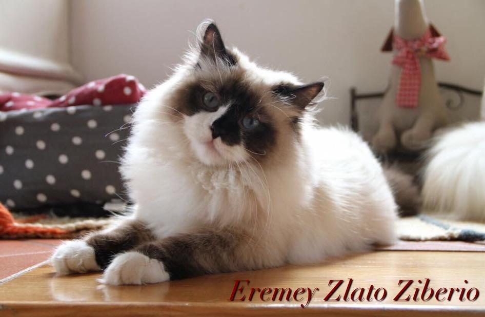 allevamento gatti siberiano brescia