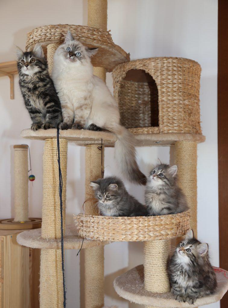 gatti siberiani tiragraffi