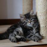 tiragraffi gatto siberiano