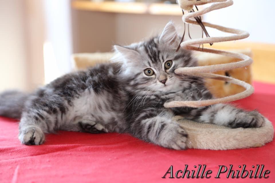 gatto siberiano brescia