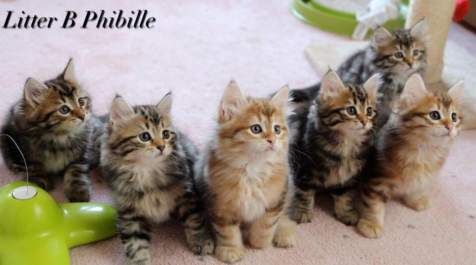 Come Riconoscere Un Buon Allevamento Di Gatti Siberiani Phibille