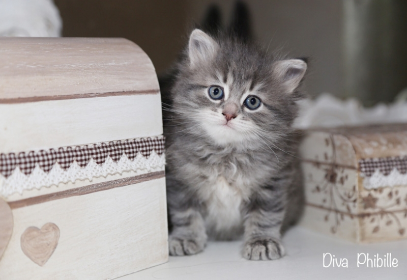 Diva-femmina_blue-tabby-blotched-
