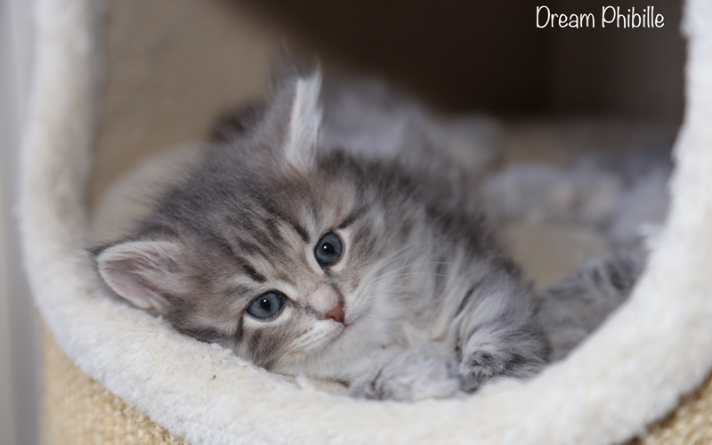 Dream-maschio_blue-tabby-spotted